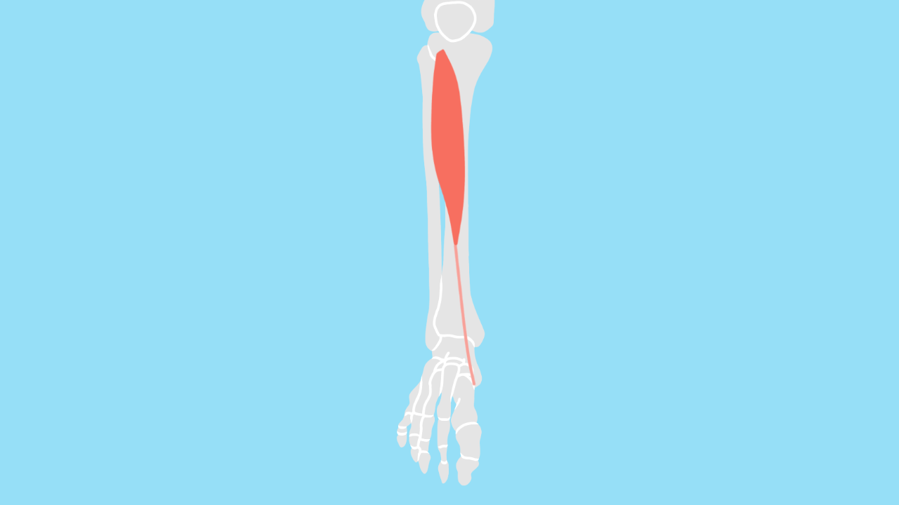 前脛骨筋(ぜんけいこつきん)