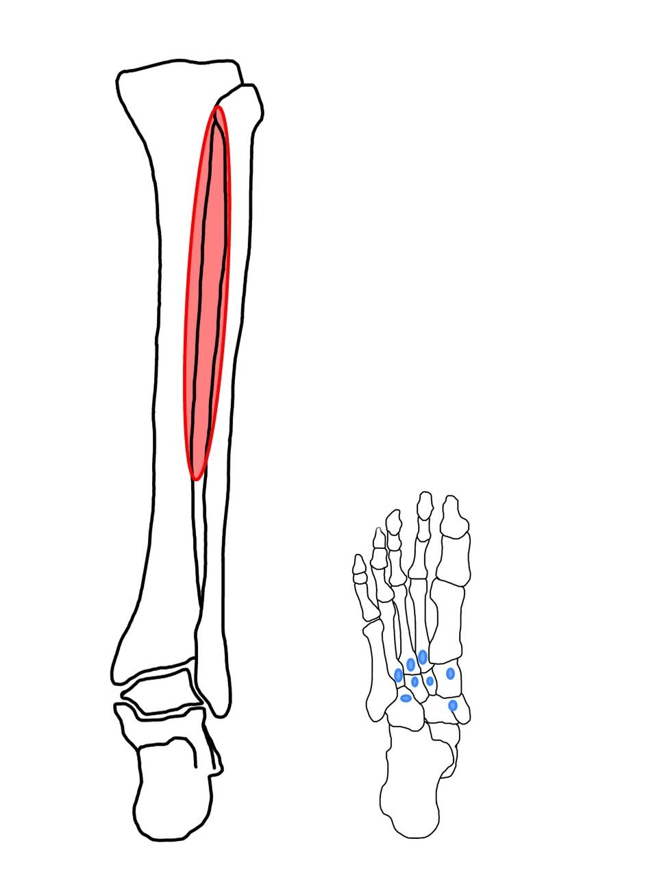 後脛骨筋の起始と停止