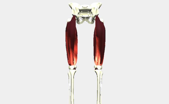 もも前の筋肉(大腿四頭筋)