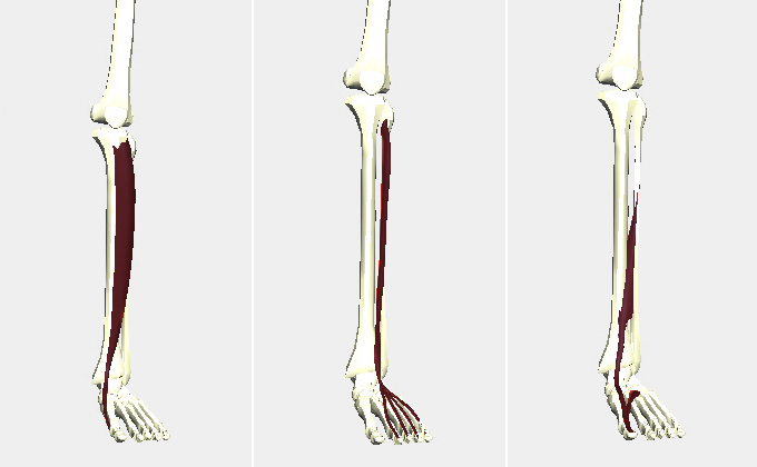 スネの筋肉(前脛骨筋・長母趾伸筋・短母趾伸筋)