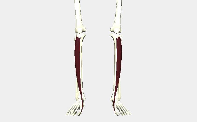 足の甲〜スネの筋肉(前脛骨筋)
