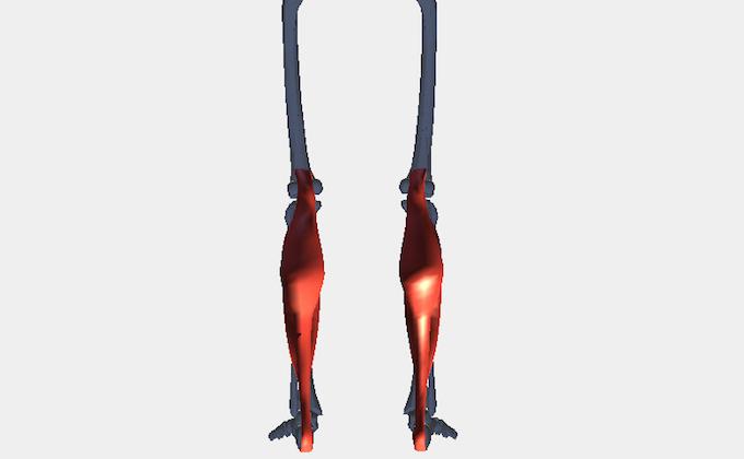 ふくらはぎの筋肉(下腿三頭筋)