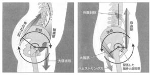 骨盤の前傾と後傾動作に作用する筋肉
