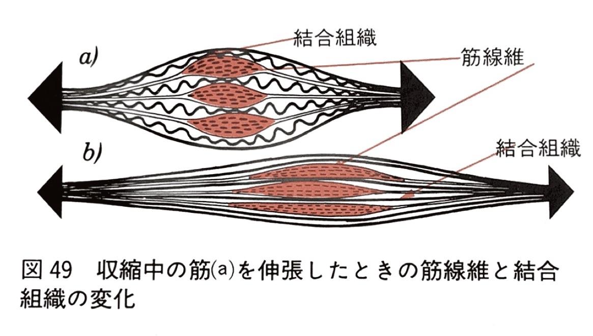 ストレッチと筋線維の伸びる方向