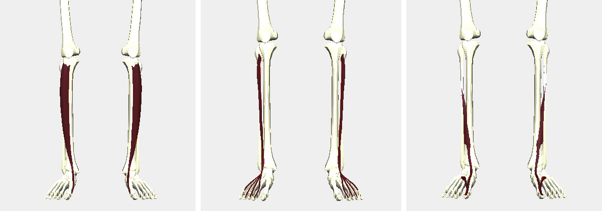 前脛骨筋、長趾伸筋、長母趾伸筋