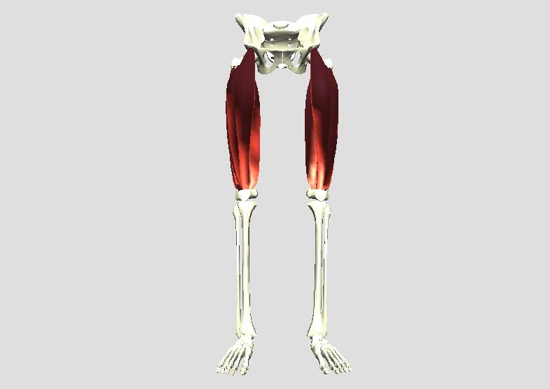 大腿四頭筋(正面から)