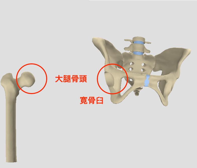 寛骨臼と大腿骨頭