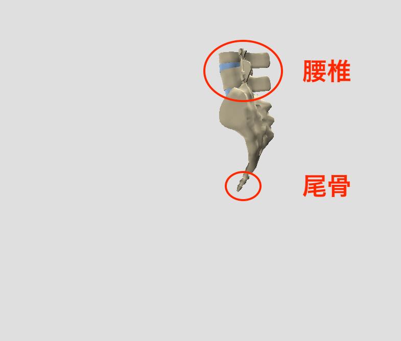 仙骨と尾骨と腰椎