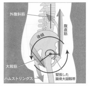 骨盤の後傾に働く筋肉