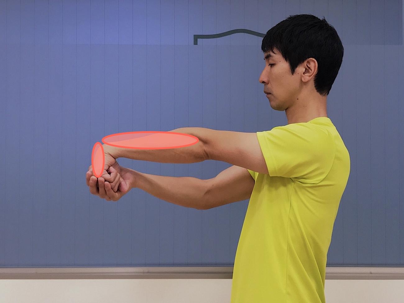 手の甲〜腕の筋肉(前腕伸筋群)のストレッチで伸びる部位