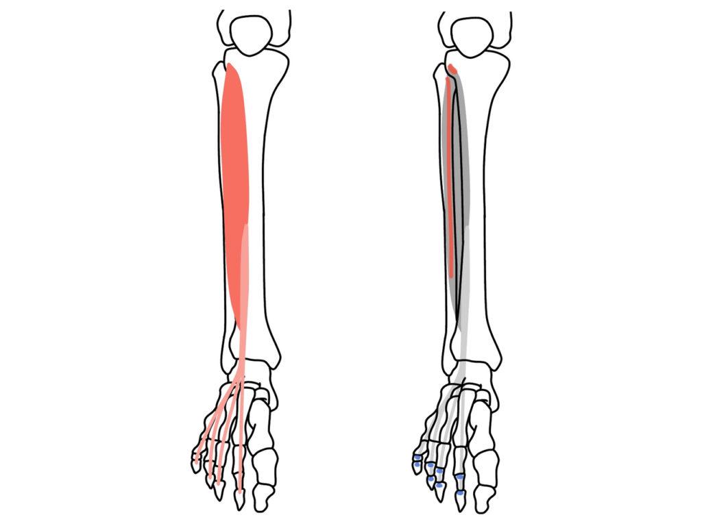 長趾伸筋(ちょうししんきん)の起始と停止
