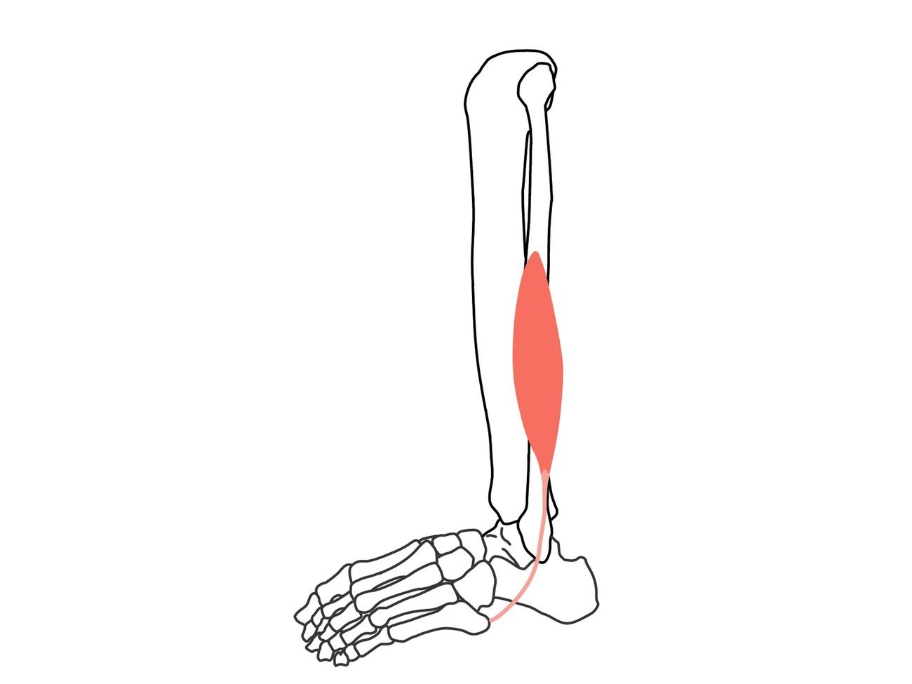 短腓骨筋(たんひこつきん)