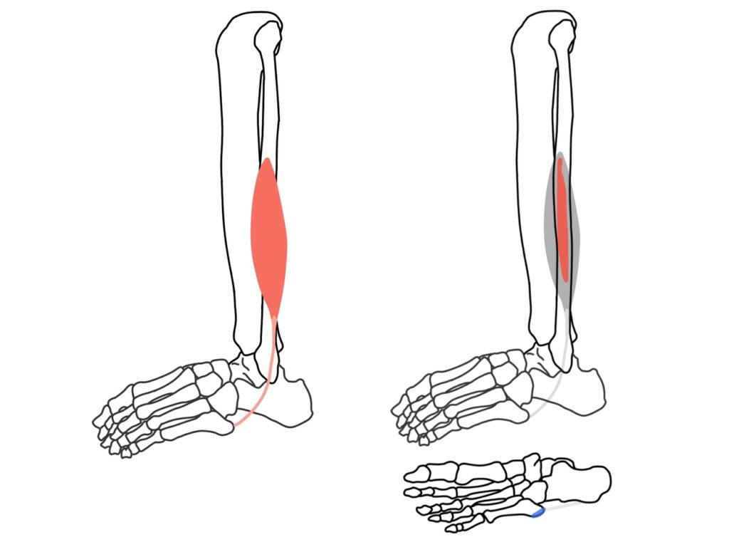 短腓骨筋(たんひこつきん)の起始と停止