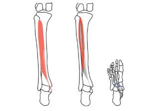 後脛骨筋(こうけいこつきん)の起始と停止