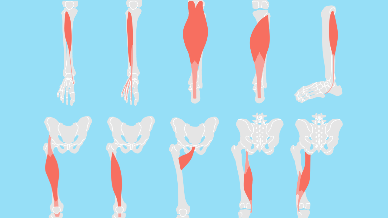 下肢の機能解剖学