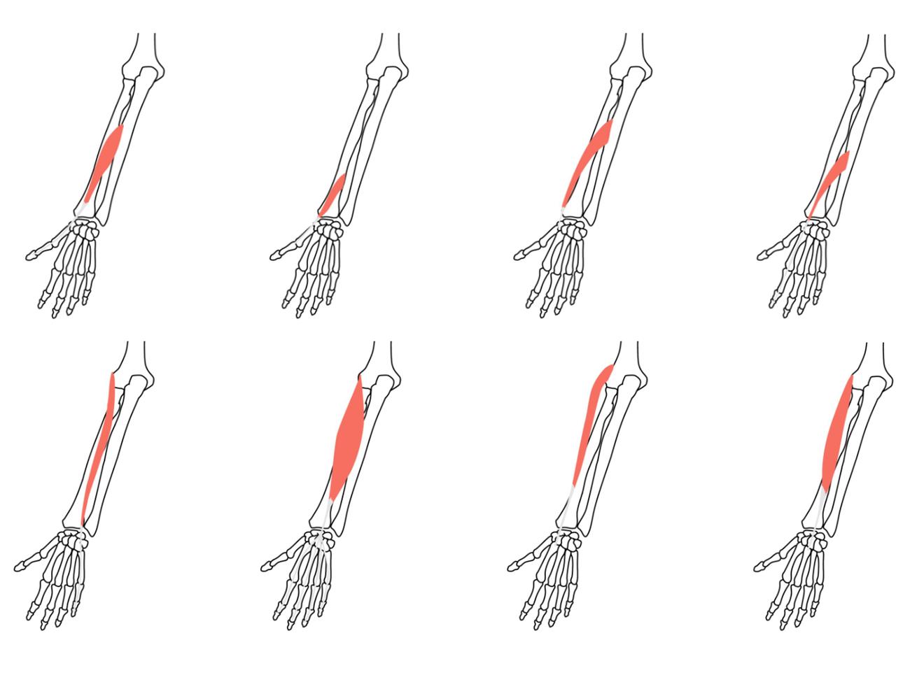 手首(前腕)後面の筋肉