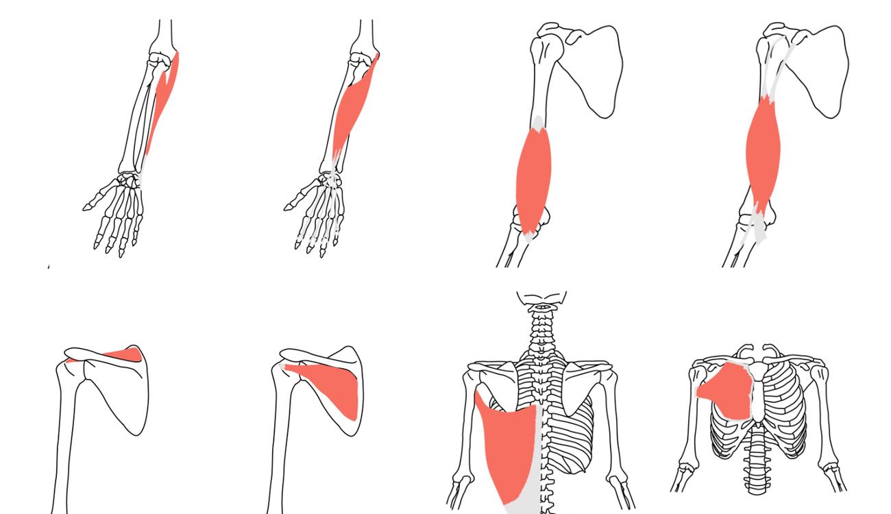 ストレッチと機能解剖学(上肢)