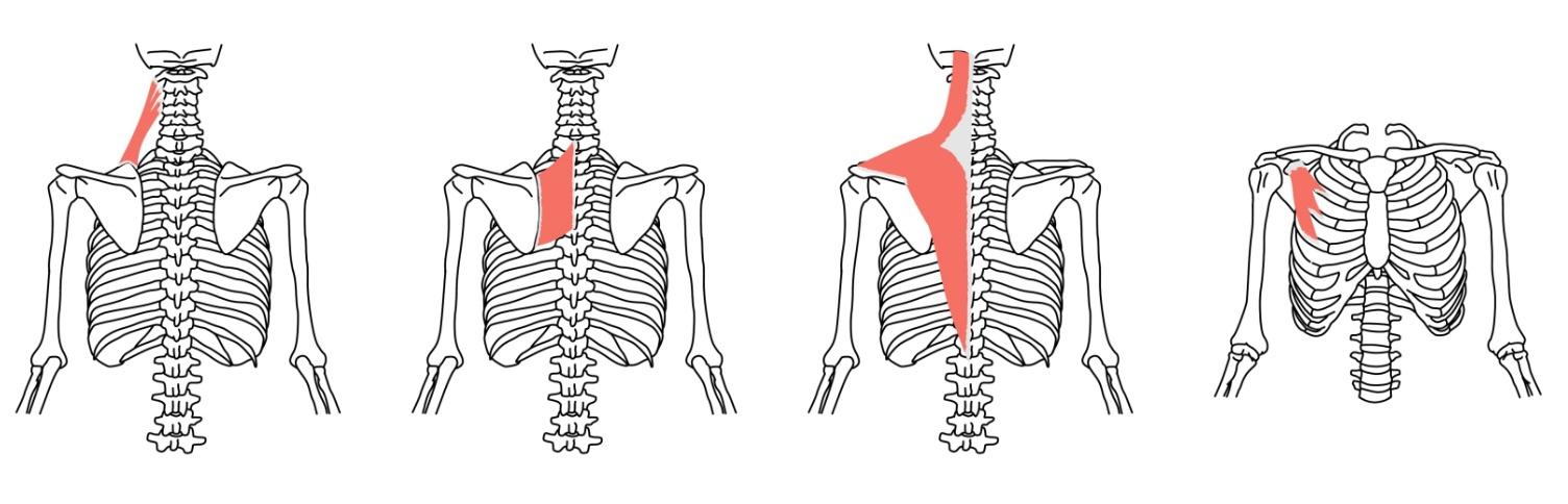 肩甲帯の筋肉