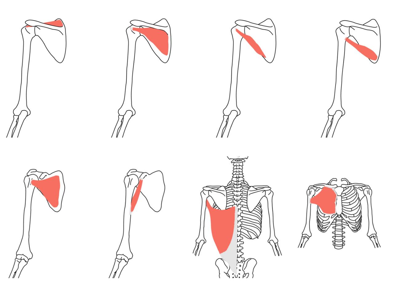 肩関節の筋肉