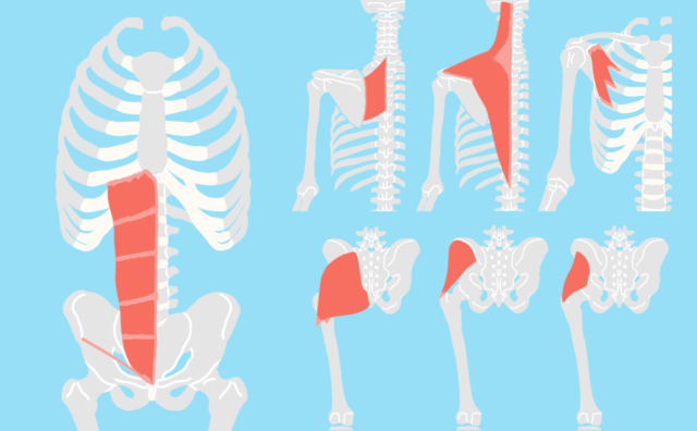 骨盤帯・体幹・肩甲帯の機能解剖学