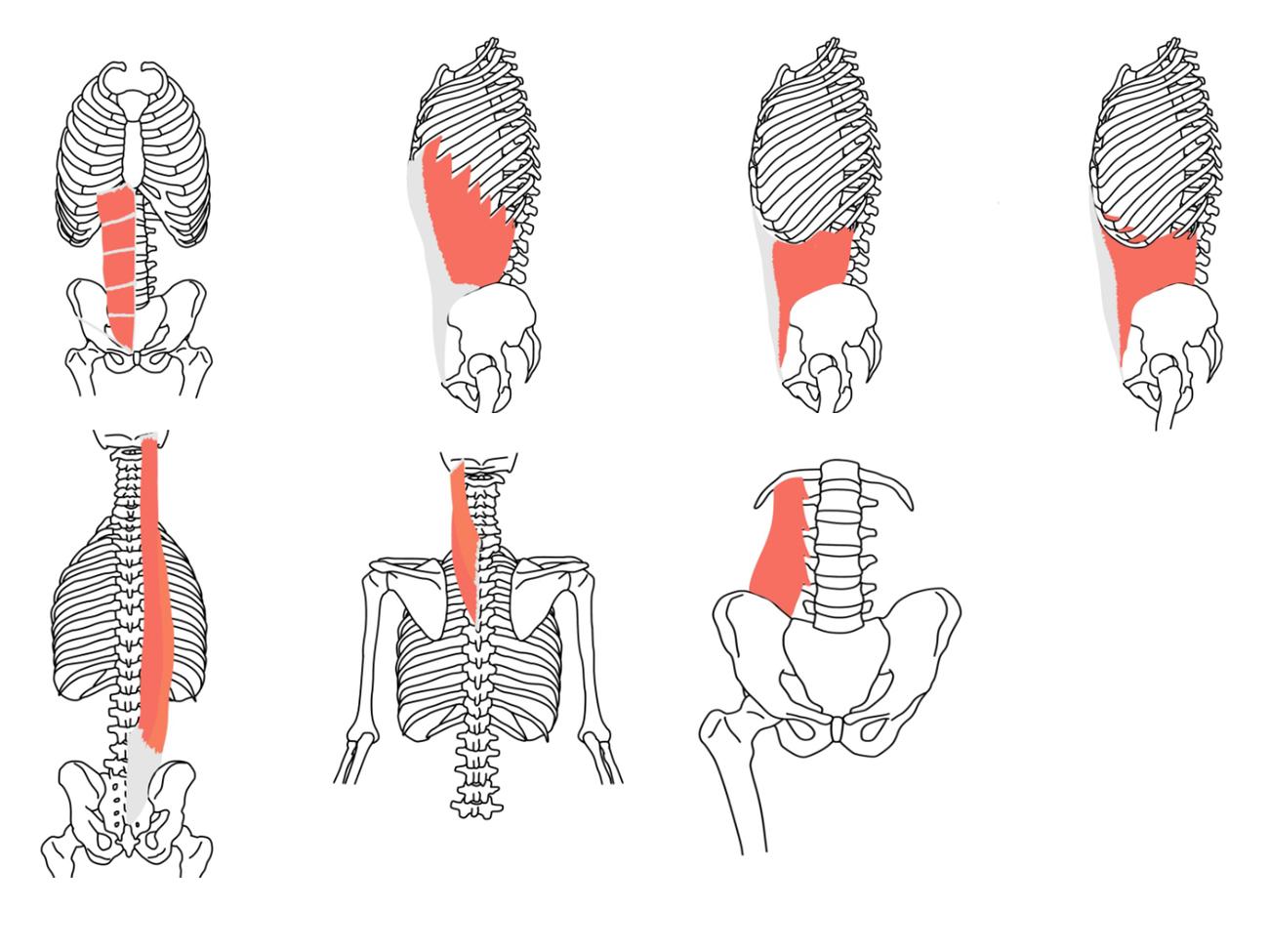 体幹と脊柱の筋肉