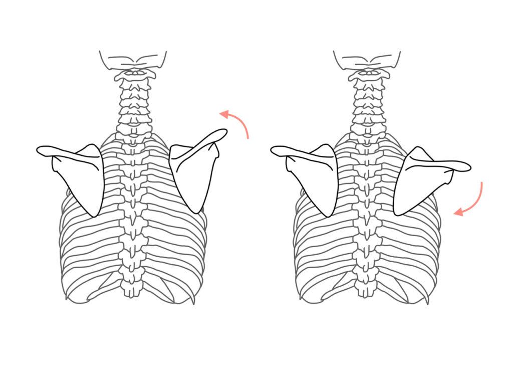 肩甲骨の上方回旋と下方回旋に作用する筋肉のまとめ