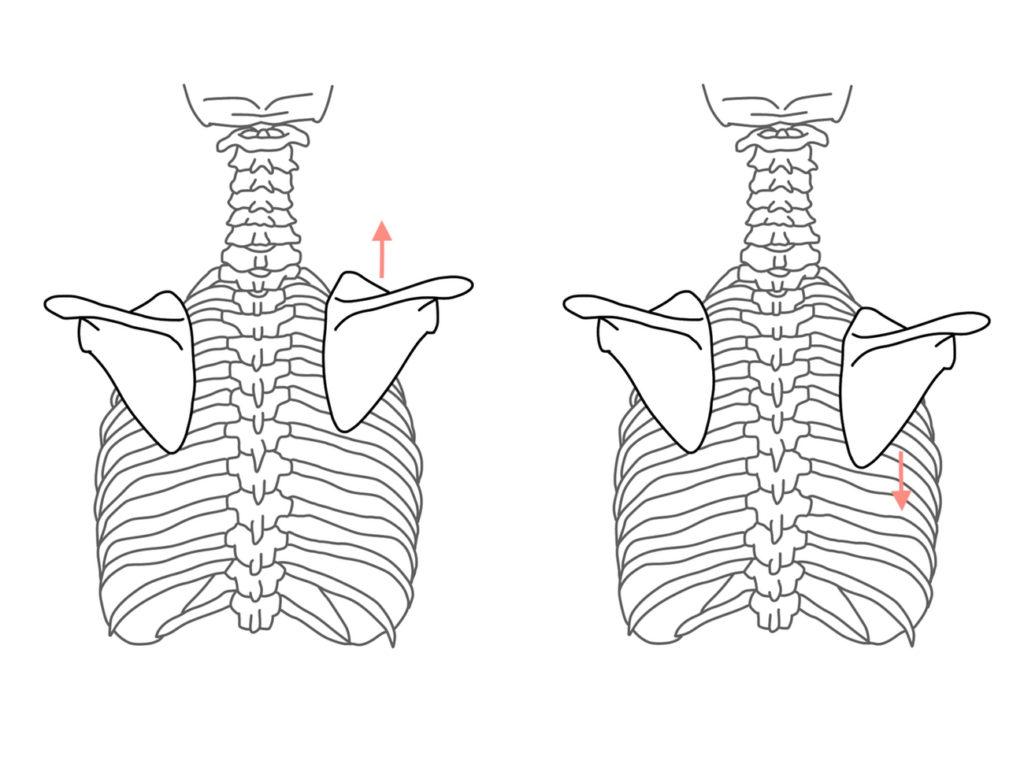 肩甲骨の挙上と下制に作用する筋肉