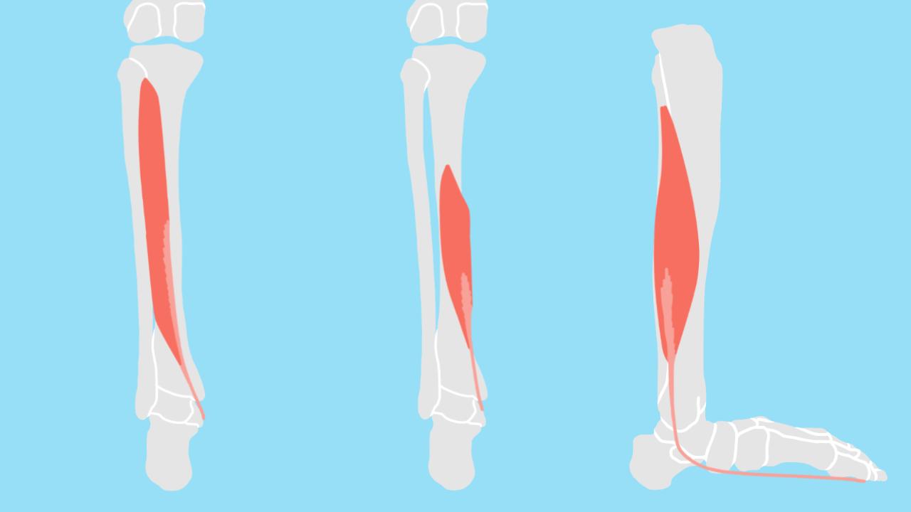 足首〜スネの内側の筋肉